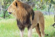 Lion Sanctuary Project